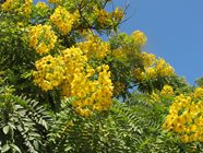 Yellow Flowers of a Gold Medallion Tree